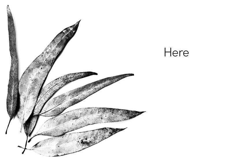 black and white eucalyptus leaves
