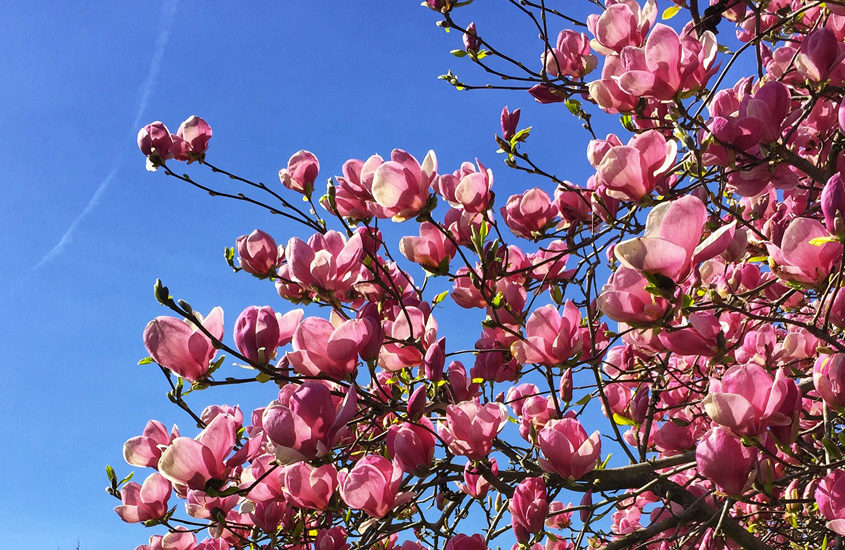 pink magnolias against a blue sky